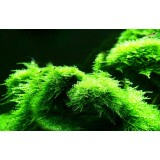 aquarium landscaping moss plants